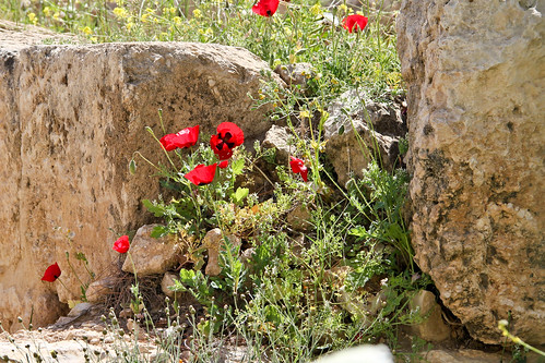 Poppies in the ruins