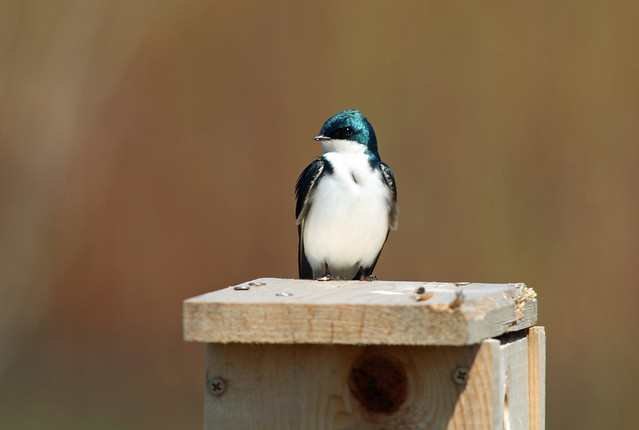 Tree Swallow at Coffee Creek