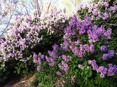 Lilacs in Boulder