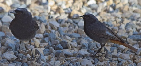Rougequeue noir - Phoenicurus ochruros