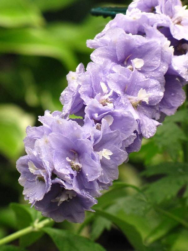 Delphinium - Purple Lakspur