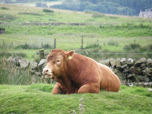 Caution, bull in field