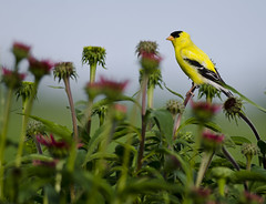 American Goldfinch on cone flowers