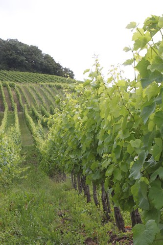 20120712_4534_Moselle-vineyards