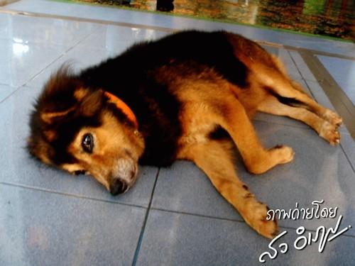 หมาวัดควง น่ารัก