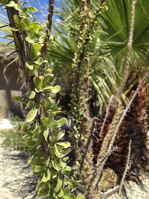 Ocotillo (Fouquieria splendens, Fouquieriaceae)