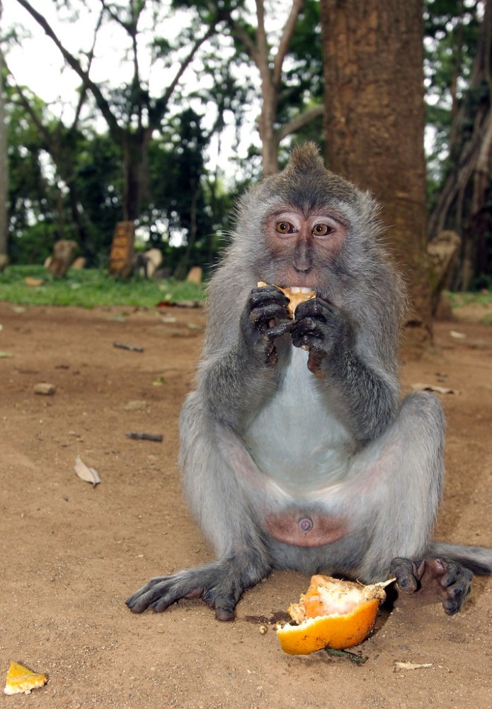 monkey eating an orange