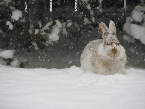 bunny in spring snow