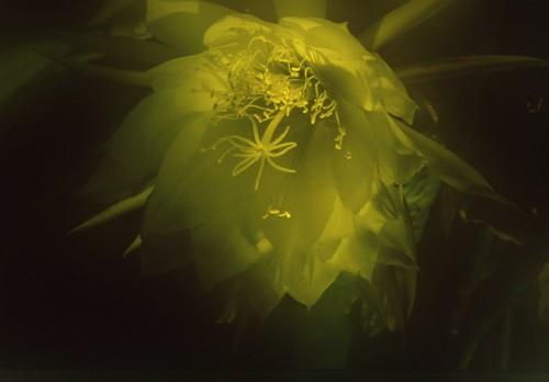 Softly Lit Epiphyllum