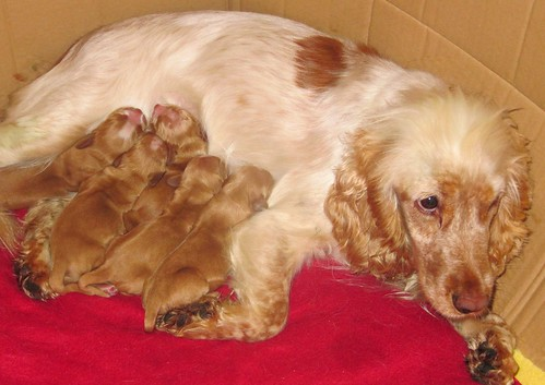 Belle with pups 7 hours old