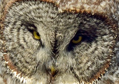 Ontario: Great Gray Close-up