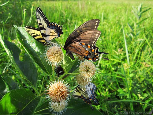 Day 199 Butterflies on Buttonbush by pixygiggles