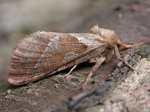 15 Orange Swift Hepialus sylvina TLNR AUG 2012