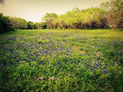 Bluebonnets at Deadman Creek