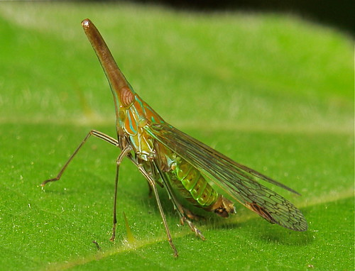 Long Nosed Planthopper (Dictyophara nakanonis, Dictyopharidae)