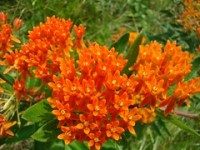 orange asclepias