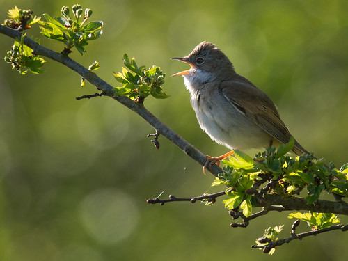 Whitethroat warbling
