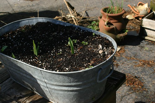 Something growing in a washtub