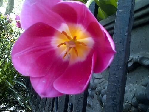 Spring 2013: Tulip in Bryant Park