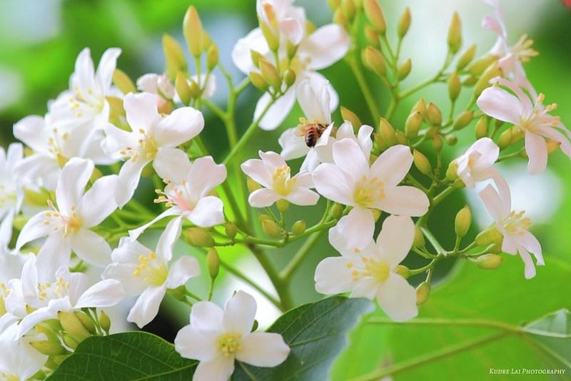 五月雪的思念(Memory of Tung flowers)