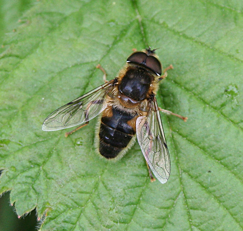 Eristalis pertinex Tophill Low NR, East Yorkshire May 2013