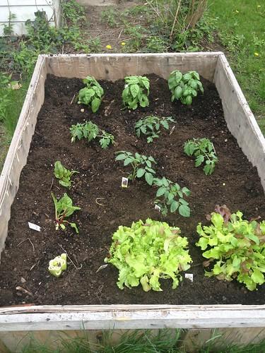 Basil! Tomatoes! Lettuce! Swiss Chard!