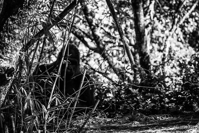 Male Gorilla in Bushes