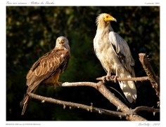Vautour percnoptere | Neophron percnopterus | Egyptian Vulture