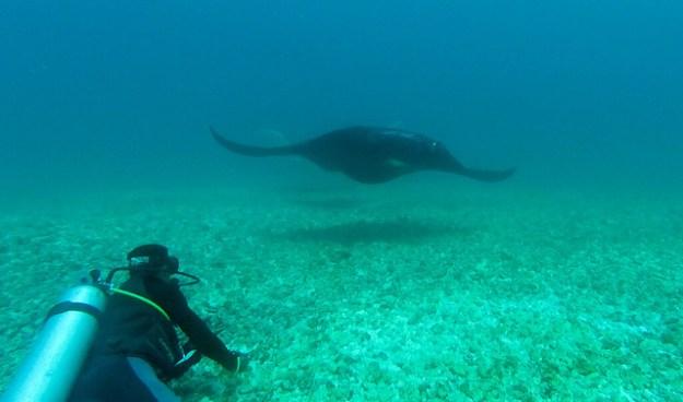 Manta approaching. Makassar Reef, Komodo.