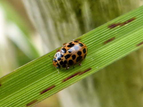Anisosticta 19-punctata (Water Ladybird) Tophill Low NR, East Yorkshire May 2013