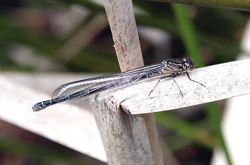 Azure Damselfly Coenagrion puella Tophill Low NR, East Yorkshire May 2013