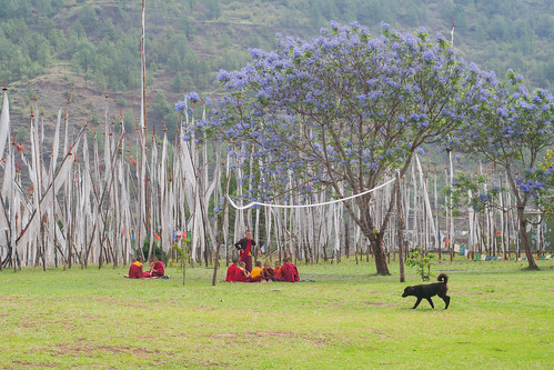 Monks, a dog and a Jacaranda tree
