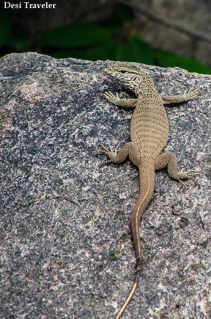 Varanus bengalensis Bengal monitor lizard