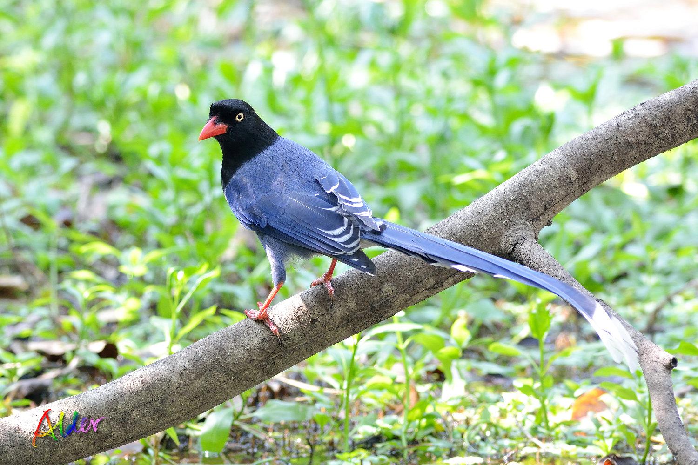植物園臺灣藍鵲.Formosan Blue Magpie@Botanical Garden.2015/02/17 – alder-birds
