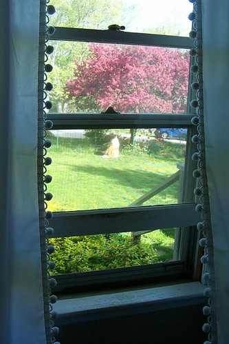 16 May 2013 view looking out front - curtains are really white - Kip watching the world go b y