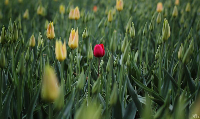 Keukenhof - Tulip Paradise
