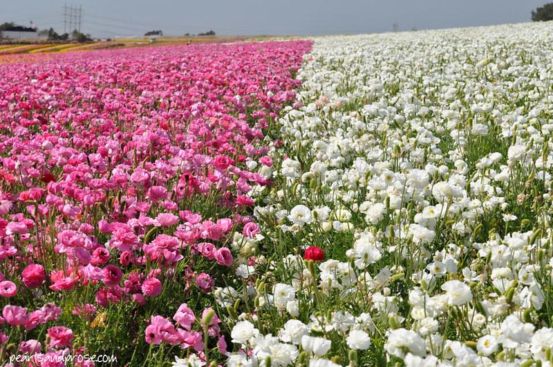 flower_fields_one_red_web
