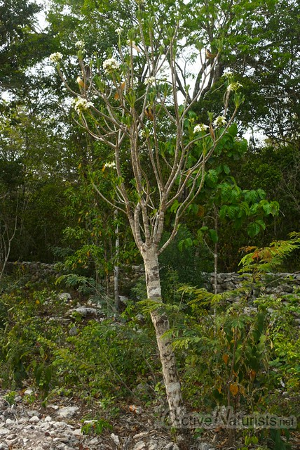 blooming tree 0000 on the way to Pet Cemetery cenote, Quintana Roo, Mexico