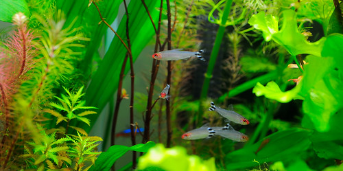 tropical fish -- Hemigrammus rhodostomus