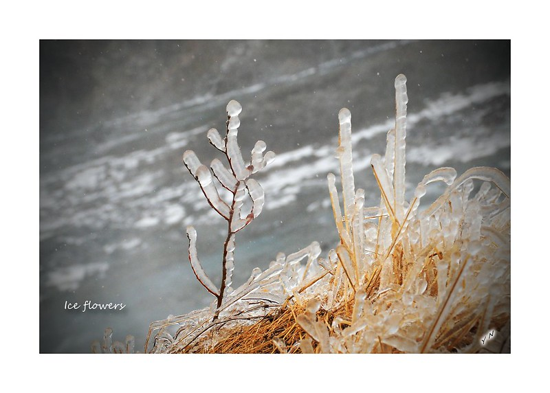 Ice flowers3