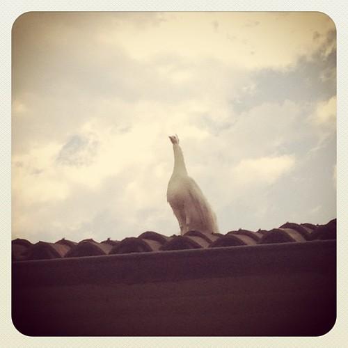 Controllo dall'alto #pavone #isolamadre #lagomaggiore #giriingiro