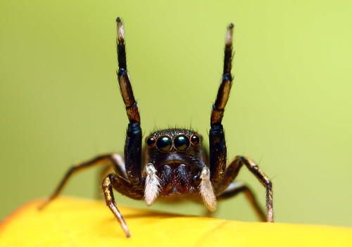 Hands Up Jumping Spider