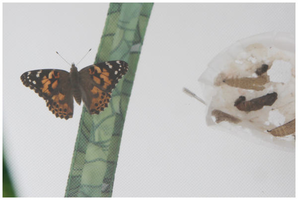 Butterfly Observation: Painted Lady