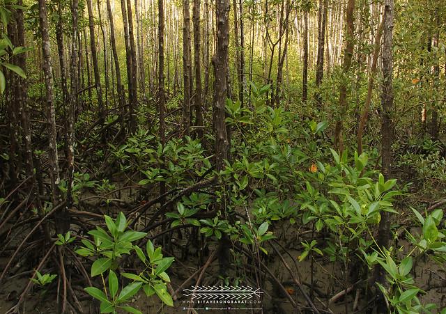 Mangroves Kalibo Aklan Bakhawan Eco-Park