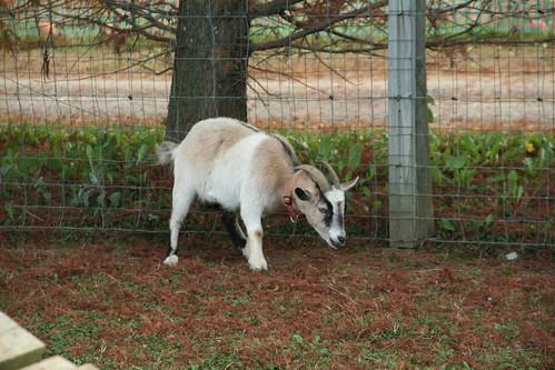 Petting Farm at Clark's Elioak Farm