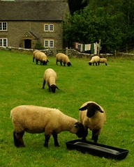 20130806-05_Hungry Sheep