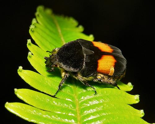 Flower Chafer (Gametis jucunda, Cetoniinae, Scarabaeidae)