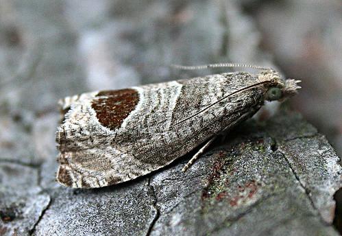 Notocelia uddmanniana Bramble-shoot Moth Tophill Low NR, East Yorkshire July 2013