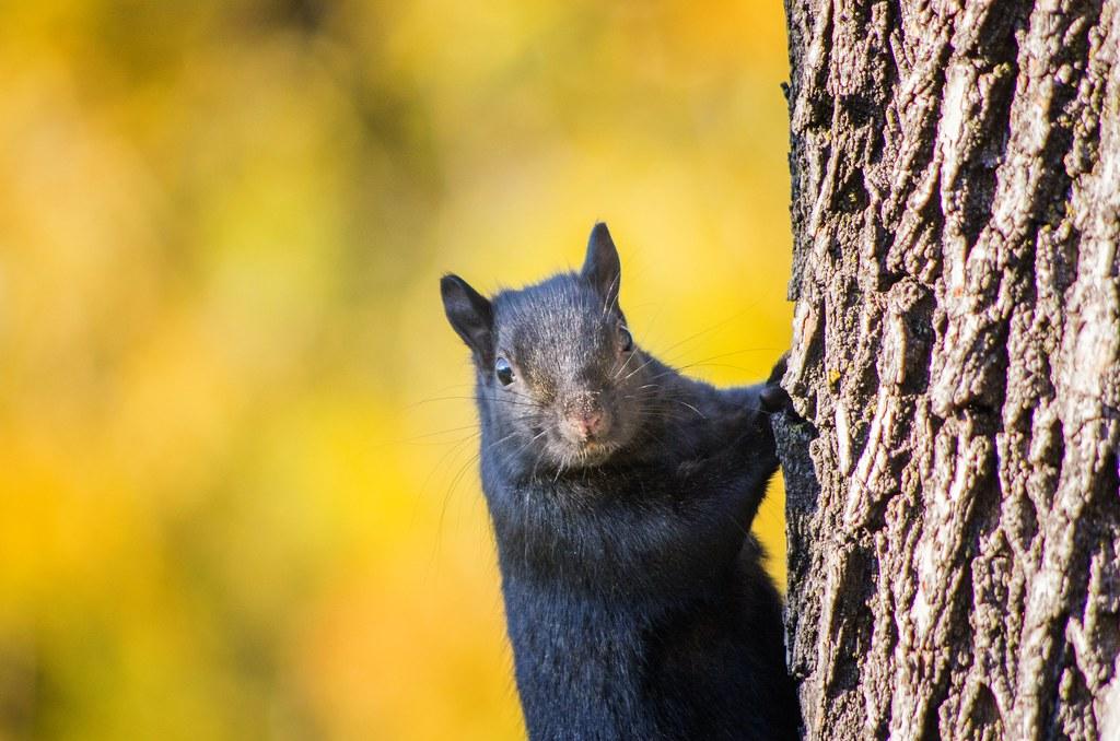 Black Squirrel stare