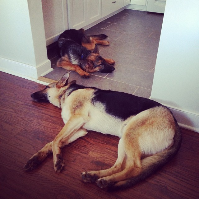 Finally wore them out. #tiredpups #gsdlove